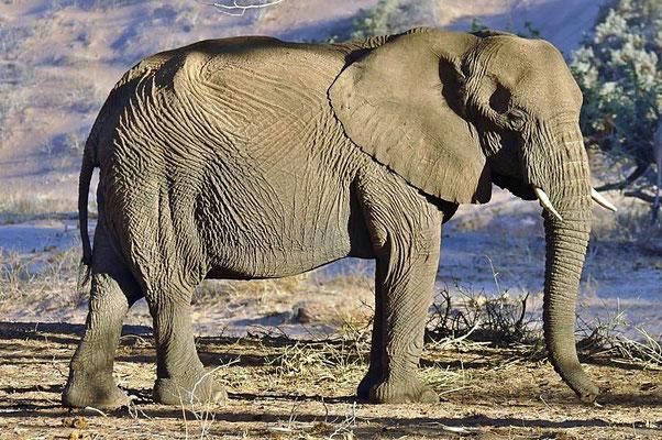 """"""" Wüstenelefanten """" (Loxodonta africana africana), auf der Suche nach Nahrung und Wasser wandern sie im Laufe des Jahres von den Kabere Bergen im Landesinneren bis zur Skelettküste am Atlantik und wieder zurück."""