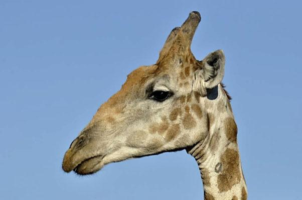 Angola-Giraffen (Giraffa camelopardalis angolensis) sind eine Gattung der Säugetiere aus der Ordnung der Paarhufer.