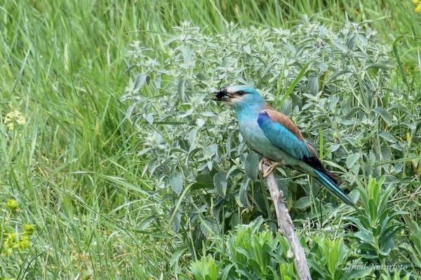 Blauracke (Coracias garrulus) am Kap Dolosman.