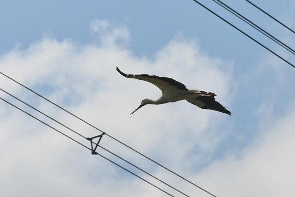 Hochspannungsleitungen und Vögel - Weißstorch (Ciconia ciconia)