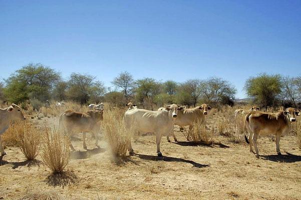Zwergzebu (Bos primigenius f. taurus), ursprünglich stammen sie aus Südasien, heute sind sie auch in Afrika und Europa verbreitet.