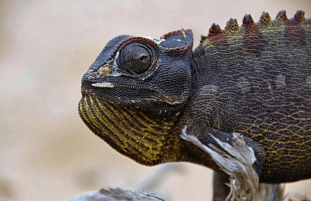 Das Namaqua Chamäleon (Chamaeleo namaquensis) ist ein mittelgroße Chamäleonart im südlichen Afrika und erreicht eine Länge von bis zu 18 cm.