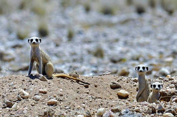 Die Erdmännchen (Suricata suricatta) sind eine Säugetierart aus der Familie der Mangusten.