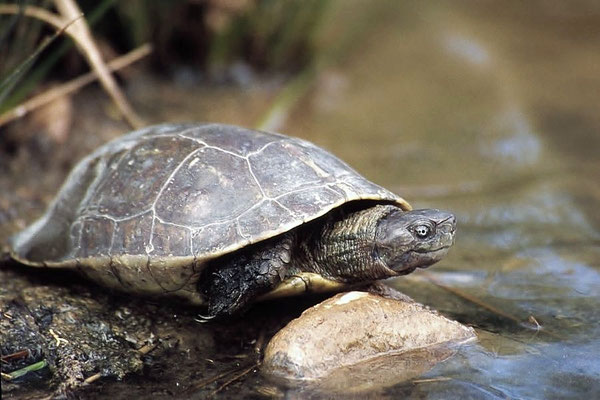 Die Maurische Bachschildkröte (Mauremys leprosa) wird auch als Spanische Wasserschildkröte bezeichnet.