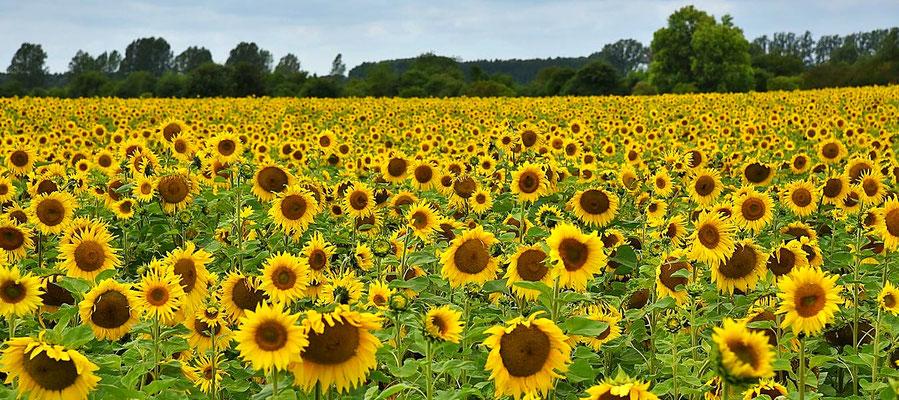 Feld mit Sonnenblumen (Helianthus annuus) bei Staffelde, Brandenburg