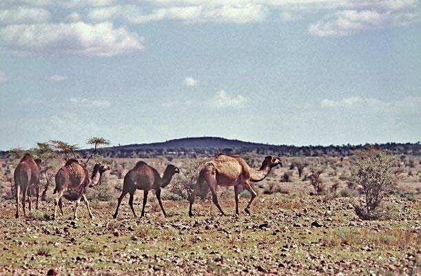 Dromedare (Camelus dromedarius) sind als Last- und Reittier in weiten Teilen Asiens und Afrikas verbreitet, in seiner Wildform jedoch ausgestorben.