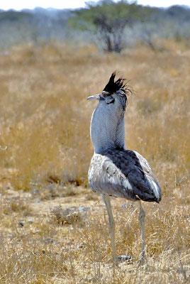Balzender Riesentrappen Hahn (Ardeotis kori), auch Koritrappe genannt, erreicht eine Höhe von rund 1,3 Meter und ein Gewicht, je nach Geschlecht, von 6–19 kg. Sie ist somit einer der schwersten flugfähigen Vögel.