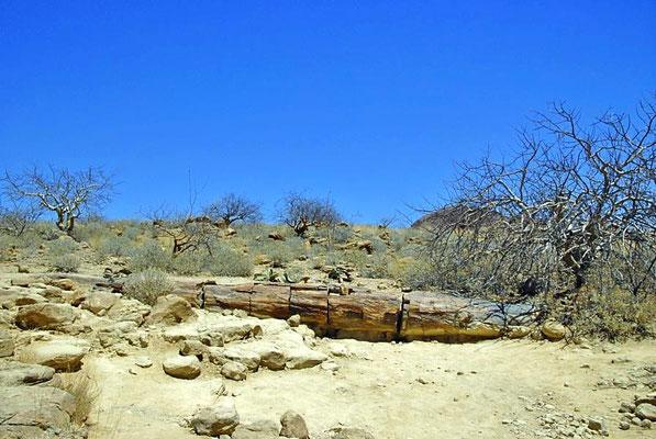 Beim Versteinerten Wald, auf einer Fläche von etwa 300 × 800 m sind 50 bis 60 größere fossile Baumstämme verstreut, die zwischen 240 und 300 Millionen Jahre alt sind.