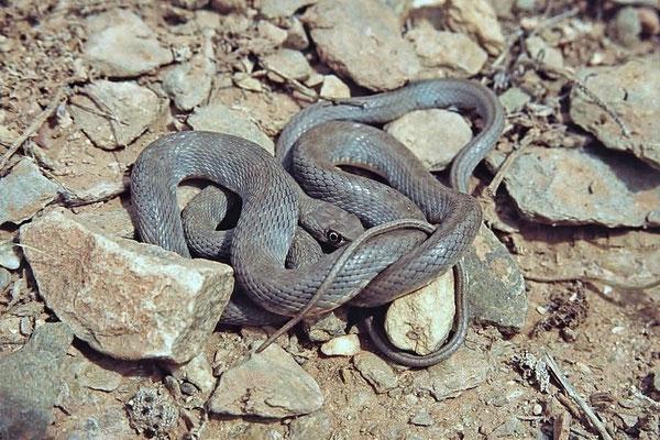 Westliche Eidechsennattern (Malpolon monspessulanus), Jungtier, legen zwischen  5 und 20 Eier, aus denen nach ca. 40 bis 50 Tagen die Jungen schlüpfen.