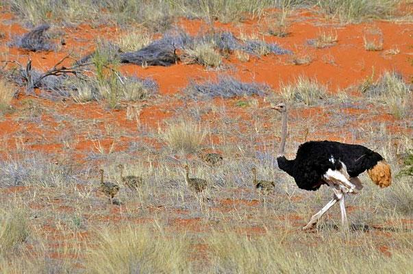 Südafrikanischer Blauhalsstrauß (Struthio camelus australis), Hahn mit Jungvögeln auf dem Gelände der Bagatelle Kalahari Game Ranch.