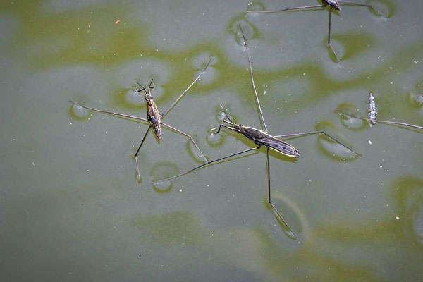 Wasserläufer (Aquarius paludum)