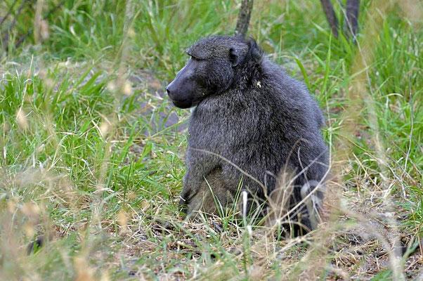 Bärenpavian oder Tschakma (Papio ursinus), Pascha. Sie bewohnen sowohl Steppen und Savannen als auch offene Waldgebiete.