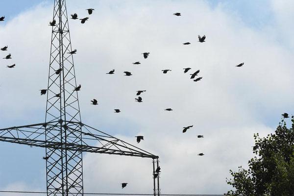 Hochspannungsleitungen und Vögel - Nebelkrähen (Corvus corone cornix)