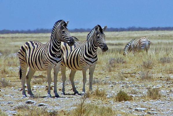 Damara-Zebras (Equus quagga burchellii) leben ausschließlich vom Gras. Ist nicht genügend Nahrung vorhanden, so unternehmen sie ausgiebige Wanderungen.