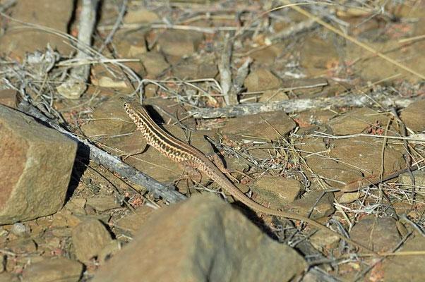 Kurzkopf-Sandveld-Eidechse (Pedioplanis breviceps) alle Arten von Pedioplanis sind im südlichen Afrika endemisch.