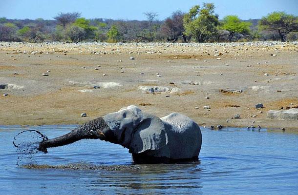 Afrikanischer Elefantenbulle (Loxodonta africana) beim baden. Auf der Suche nach Wasser und Nahrung legen die Elefanten bis zu zwölf Kilometer pro Tag zurück.