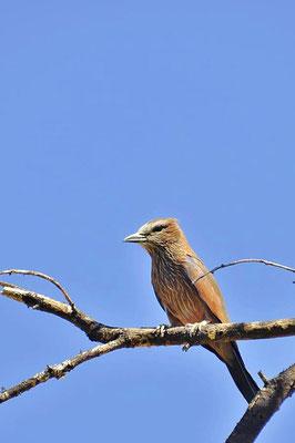 Die Strichelracke (Coracias naevia) ist eine Vogelart aus der Ordnung der Rackenvögel (Coraciiformes).
