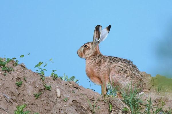 Feldhase (Lepus europaeus) am Rand einer Kiesgrube