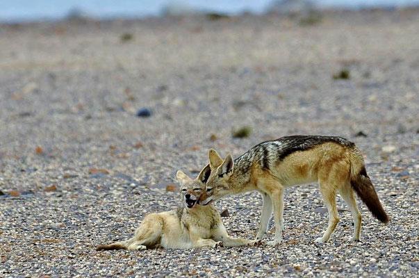Schabrackenschakal (Canis mesomelas), Fähe mit Welpen.
