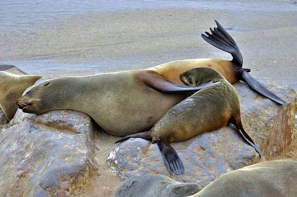 Südafrikanische Seebären (Arctocephalus pusillus), Mutter säugt ihr Jungtier am Cape Cross.