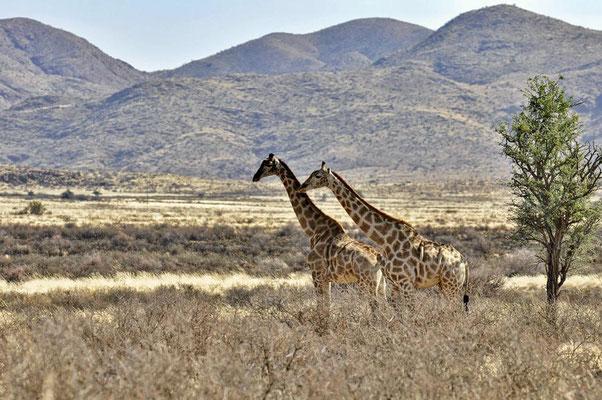 Angola-Giraffen (Giraffa camelopardalis angolensis) beim werben.