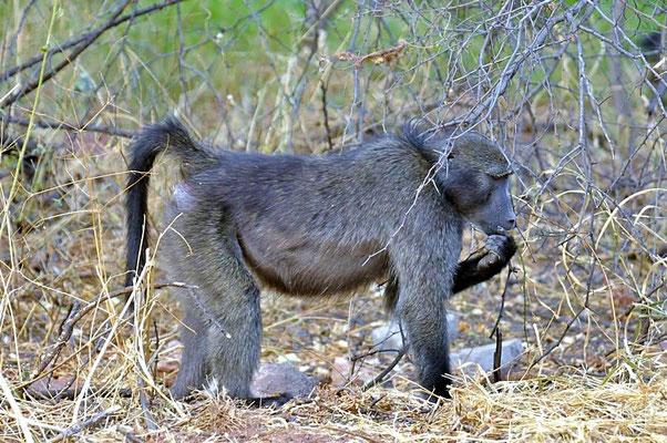 Bärenpaviane oder Tschakma (Papio ursinus) leben im südlichen Afrika, genauer in Angola, Botswana, Mosambik, Namibia, Südafrika und Sambia.