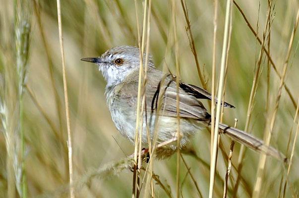 Die Brustbandprinie (Prinia flavicans) haben wir auf dem Gelände der Twyfelfontein Country Lodge entdeckt.