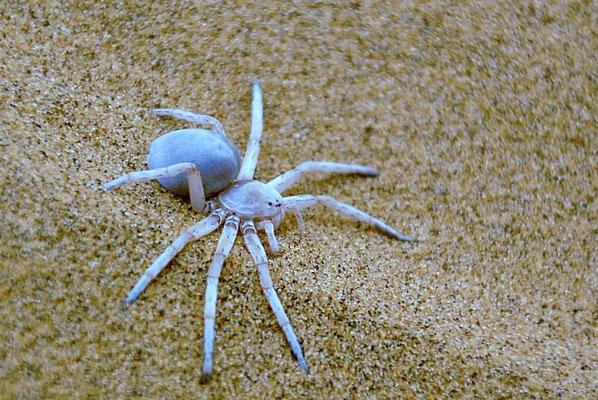 Die Afrikanische Radspinne (Carparachne aureoflava) ist eine Dünenspinne die zur Familie der Riesenkrabbenspinnen gehört.
