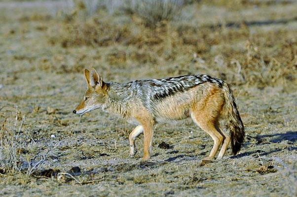 Der Schabrackenschakal (Canis mesomelas) ist ein Wildhund der afrikanischen Savanne und wird zu den Echten Hunden der Gattung Canis gerechnet.