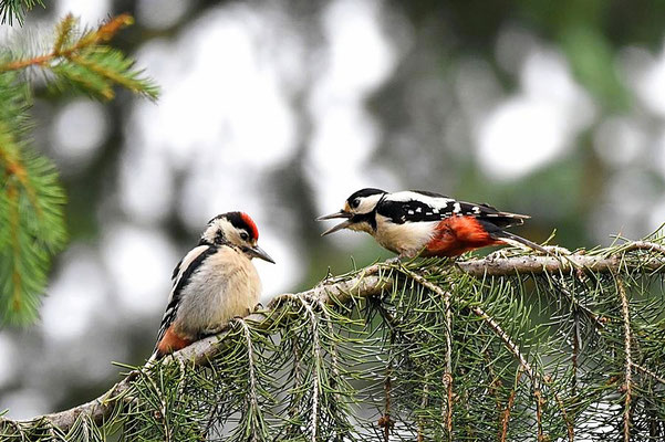 Mittelspecht (Leiopicus medius) Jungvogel bettelt um Futter, Berlin-Waidmannslust.