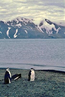Zügelpinguine (Pygoscelis antarctica) auf Deception Island.