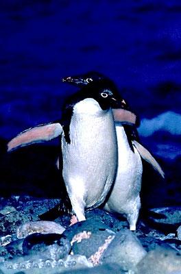 Adeliepinguine (Pygoscelis adeliae) sind benannt nach dem Adelieland, einem Gebiet in der Antarktis.
