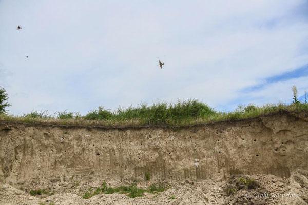 Lehmwand der Bienenfresser (Merops apiaster) bei Jurilovca.