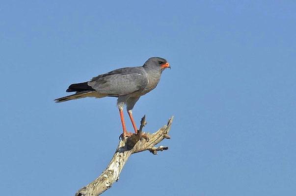 """Der Große Singhabicht (Melierax canorus) wird im Englischen """"Pale Chanting-Goshawk"""" genannt."""