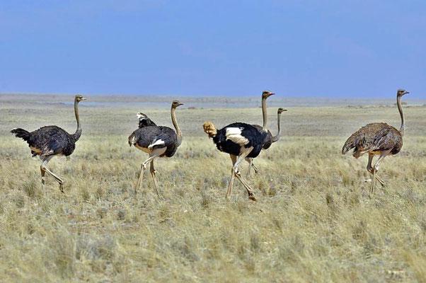 Südafrikanische Blauhalsstrauße (Struthio camelus australis) sind die größten, heute noch lebende Vögel der Erde.