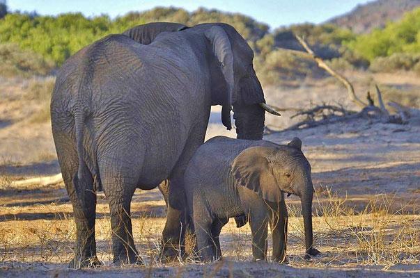 """ Wüstenelefanten "" (Loxodonta africana africana), Kuh mit Kalb."