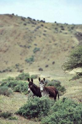 Der Hausesel (Equus africanus f. asinus) ist ein weltweit verbreitetes Haustier. Seine Stammform ist der Afrikanische Esel.