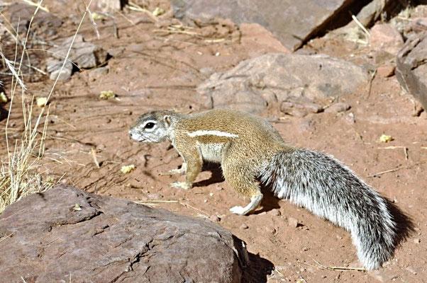 Das Kap-Borstenhörnchen (Geosciurus inauris) lebt in Wüsten und Halbwüsten auf den Territorien von Südafrika, Namibia, Botswana und Lesotho.