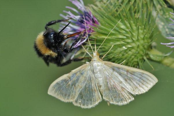 Nesselzünsler (Pleuroptya ruralis) mit Dunkler Erdhummel (Bombus terrestris)