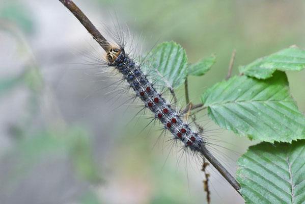 Raupe vom Schwammspinner (Lymantria dispar)