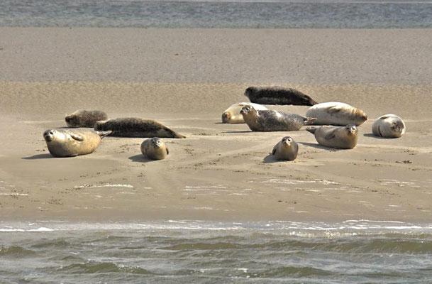 Seehunde (Phoca vitulina) auf einer Sandbank