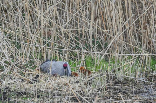 Europäischer Kranich (Grus grus) im Nest mit Küken im Linumer Teichland.