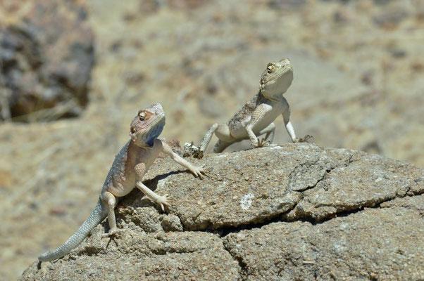 Anchietas Agame (Agama anchietae) kommt in Angola, Botswana und Namibia vor.