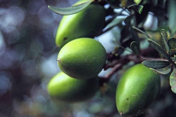 Die Argannuss liefert das wertvolle Arganöl.