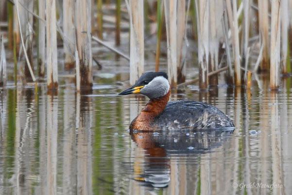 Rothalstaucher (Podiceps grisegena) auf dem Unkenteich im Linumer Teichland.