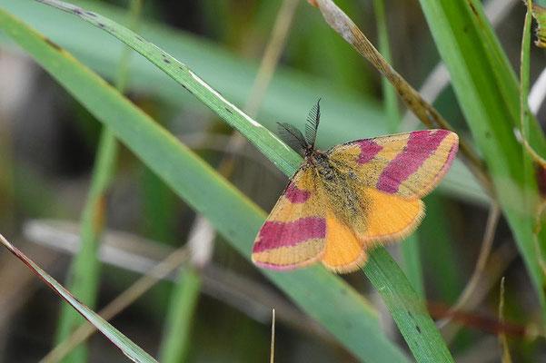 Männlicher Purpurspanner (Lythria cruentaria)