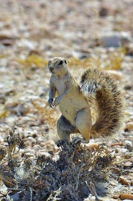 Kap-Borstenhörnchen (Geosciurus inauris) sind eine Gattung bodenlebender Erdhörnchen, die mit vier Arten in Afrika verbreitet ist.