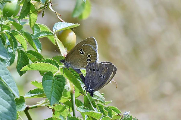 Brauner Waldvogel oder Schornsteinfeger (Aphantopus hyperantus) bei der Paarung.