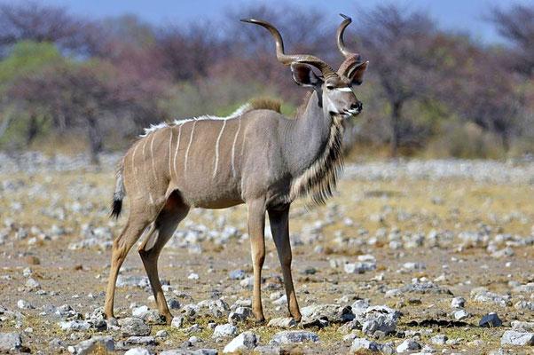 Großer Kudu (Tragelaphus strepsiceros), Böcke schließen sich in Junggesellengruppen zusammen oder leben als territoriale Einzelgänger.
