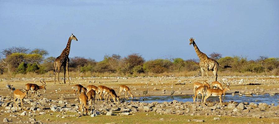 Angola-Giraffen (Giraffa camelopardalis angolensis) mit Schwarzgesicht-Impala (Aepyceros melampus petersi)